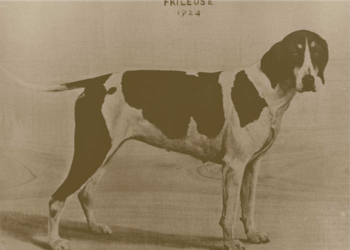 La chienne Frileuse en 1924 - Don de M. A.-P. Baudesson à la Société de Vènerie