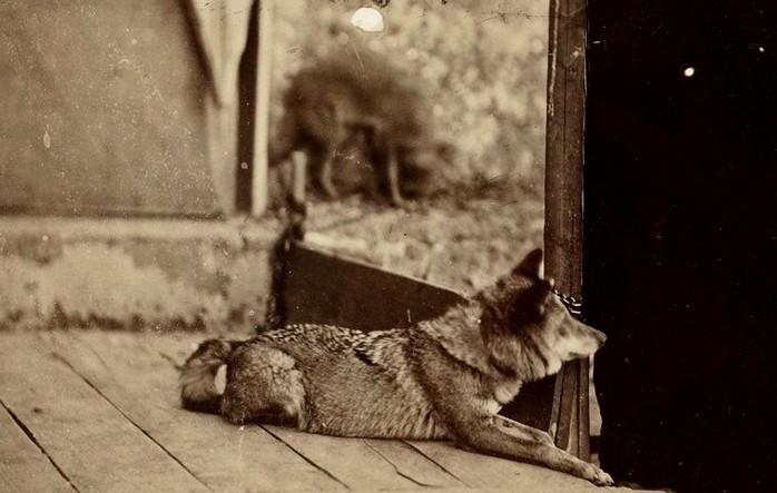 Louvard de 10 mois - La chasse du loup - Equipage de Saint-Martin