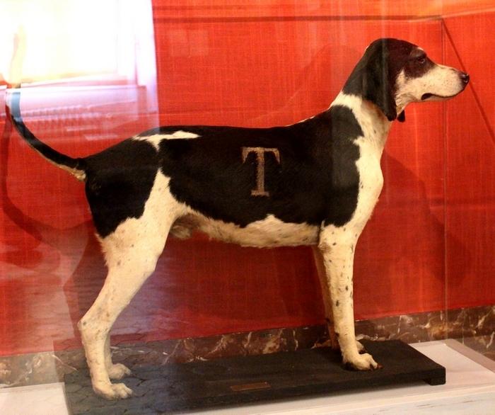 Le chien Dictateur, mort en 1913 - Photo : courtoisie - Don à la Société de Vènerie