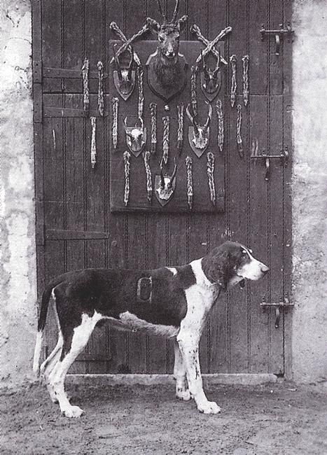 Le chien Pendore - Tiré de l'ouvrage Deux Siècles de Vènerie à travers la France - H. Tremblot de la Croix et B. Tollu (1988)
