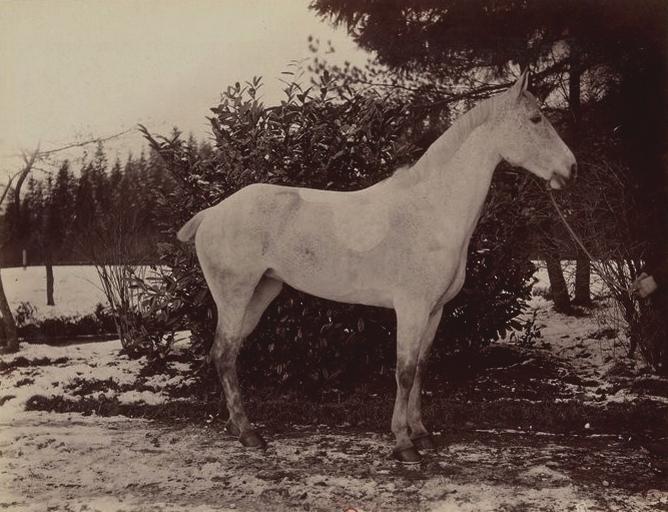 Jument normande - Tiré de l'ouvrage L'Equipage du marquis de Chambray - Photos de Maurice de Gasté (1894) - Bnf (Gallica)