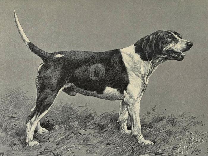 Hawker, foxhound rapprochant du type ancien staghound au vicomte d'Onzembray - Illustration tirée de La Chasse du chevreuil - Comte de Chabot (1879) -