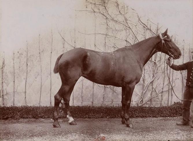 Jument Nivernais au marquis de Chambray - Tiré de l'ouvrage L'Equipage du marquis de Chambray - Photos de Maurice de Gasté (1894) - Bnf (Gallica)