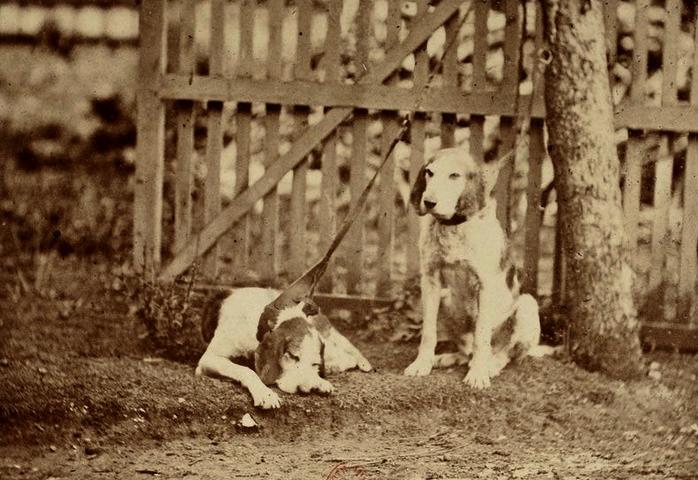 Deux vieux limiers pour le loup - Photo de Léon Crémière (1861) - Tirée de l'ouvrage La Chasse du loup (1861) - Emmanuel Le Couteulx de Canteleu - Bou